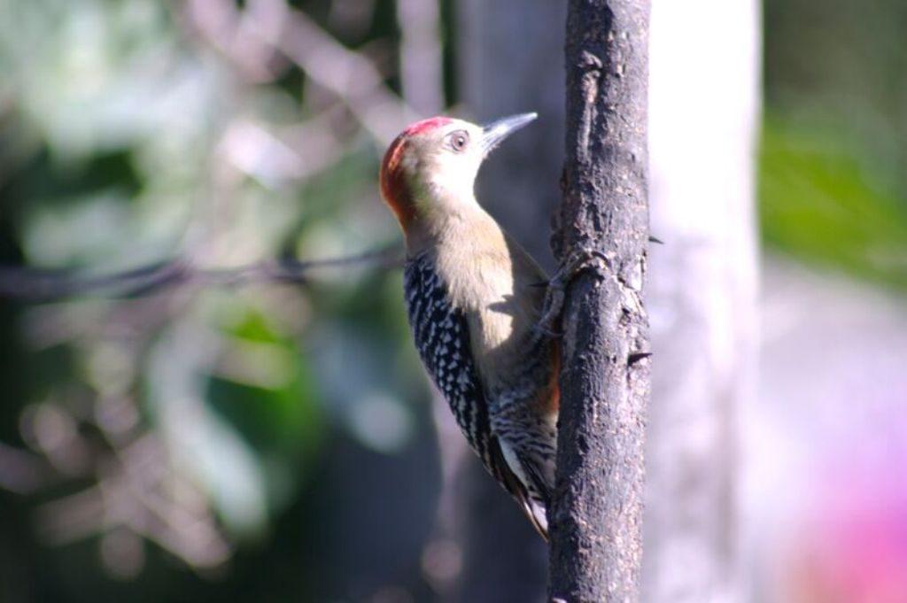 Tobago birding CRW_2254