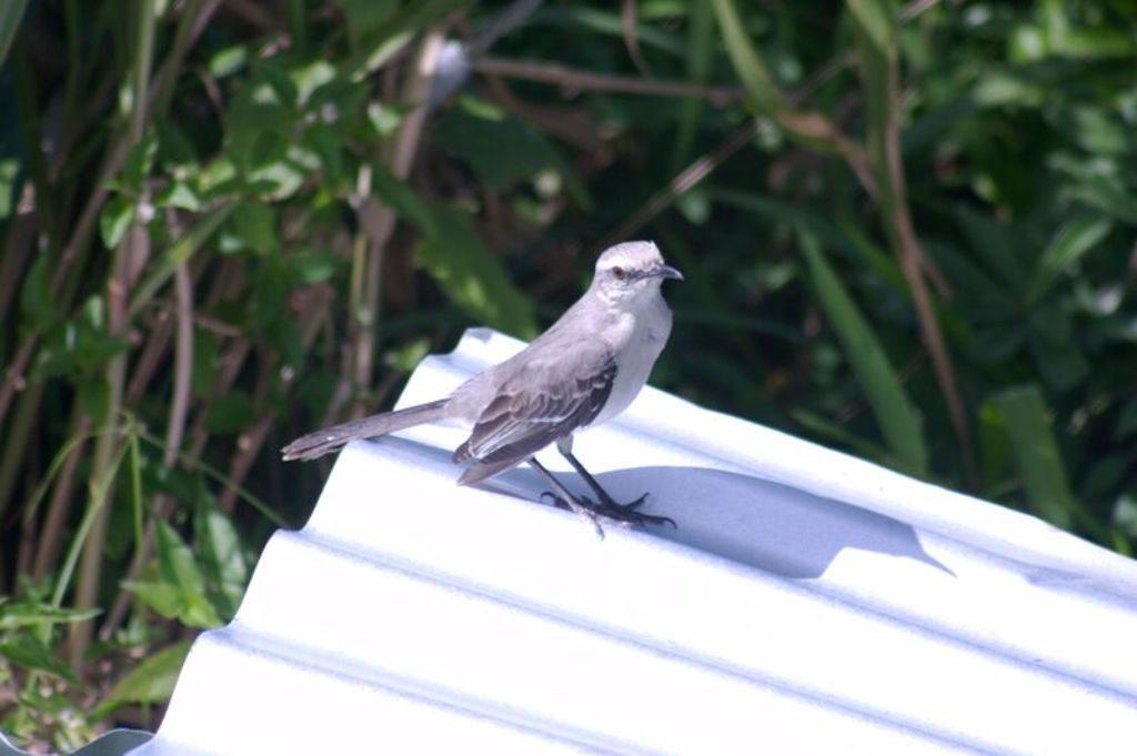 Tobago birding CRW_2296