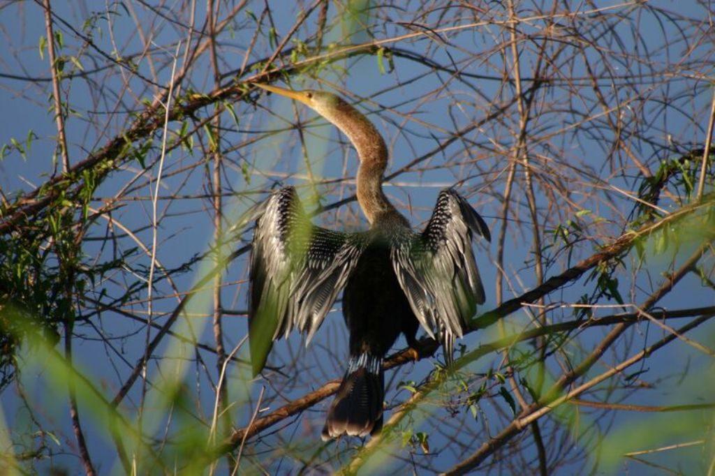 Tobago birding IMG_2366