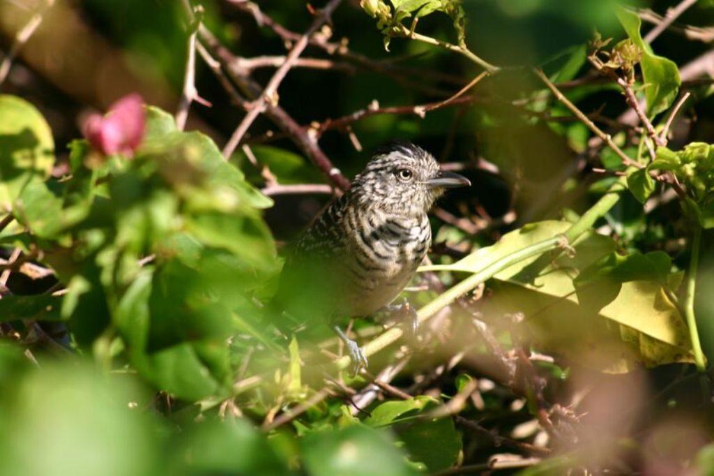 Tobago birding IMG_2378